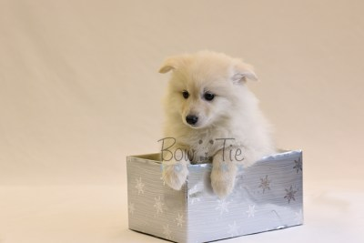puppy6 BowTiePomsky.com Bowtie Pomsky Puppy For Sale Husky Pomeranian Mini Dog Spokane WA Breeder Blue Eyes Pomskies photo64