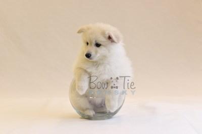 puppy6 BowTiePomsky.com Bowtie Pomsky Puppy For Sale Husky Pomeranian Mini Dog Spokane WA Breeder Blue Eyes Pomskies photo73