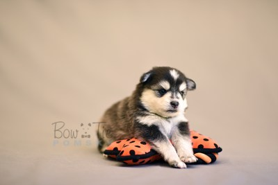 puppy7 BowTiePomsky.com Bowtie Pomsky Puppy For Sale Husky Pomeranian Mini Dog Spokane WA Breeder Blue Eyes Pomskies photo16