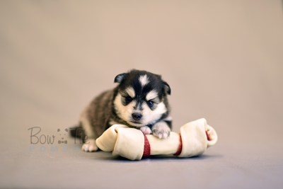 puppy7 BowTiePomsky.com Bowtie Pomsky Puppy For Sale Husky Pomeranian Mini Dog Spokane WA Breeder Blue Eyes Pomskies photo18