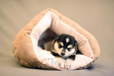 puppy7 BowTiePomsky.com Bowtie Pomsky Puppy For Sale Husky Pomeranian Mini Dog Spokane WA Breeder Blue Eyes Pomskies photo20