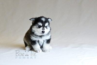puppy7 BowTiePomsky.com Bowtie Pomsky Puppy For Sale Husky Pomeranian Mini Dog Spokane WA Breeder Blue Eyes Pomskies photo23