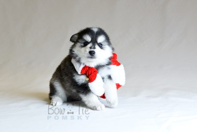 puppy7 BowTiePomsky.com Bowtie Pomsky Puppy For Sale Husky Pomeranian Mini Dog Spokane WA Breeder Blue Eyes Pomskies photo25