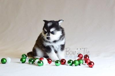 puppy7 BowTiePomsky.com Bowtie Pomsky Puppy For Sale Husky Pomeranian Mini Dog Spokane WA Breeder Blue Eyes Pomskies photo28