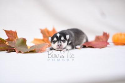 puppy7 BowTiePomsky.com Bowtie Pomsky Puppy For Sale Husky Pomeranian Mini Dog Spokane WA Breeder Blue Eyes Pomskies photo9