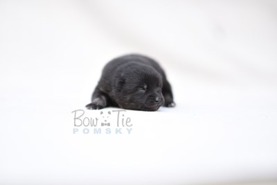 puppy8 BowTiePomsky.com Bowtie Pomsky Puppy For Sale Husky Pomeranian Mini Dog Spokane WA Breeder Blue Eyes Pomskies photo10