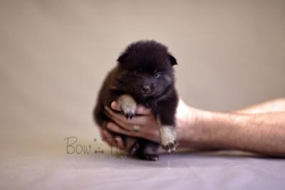 puppy8 BowTiePomsky.com Bowtie Pomsky Puppy For Sale Husky Pomeranian Mini Dog Spokane WA Breeder Blue Eyes Pomskies photo11