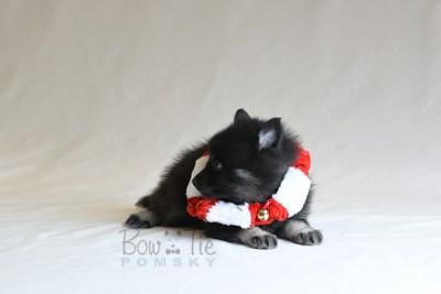 puppy8 BowTiePomsky.com Bowtie Pomsky Puppy For Sale Husky Pomeranian Mini Dog Spokane WA Breeder Blue Eyes Pomskies photo28