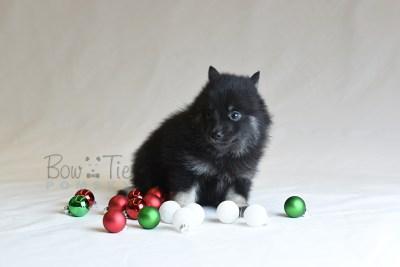 puppy8 BowTiePomsky.com Bowtie Pomsky Puppy For Sale Husky Pomeranian Mini Dog Spokane WA Breeder Blue Eyes Pomskies photo31