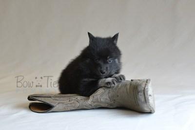 puppy8 BowTiePomsky.com Bowtie Pomsky Puppy For Sale Husky Pomeranian Mini Dog Spokane WA Breeder Blue Eyes Pomskies photo38