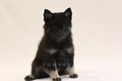puppy8 BowTiePomsky.com Bowtie Pomsky Puppy For Sale Husky Pomeranian Mini Dog Spokane WA Breeder Blue Eyes Pomskies photo45