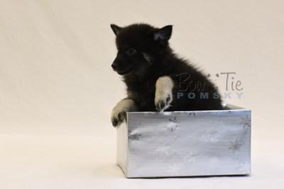 puppy8 BowTiePomsky.com Bowtie Pomsky Puppy For Sale Husky Pomeranian Mini Dog Spokane WA Breeder Blue Eyes Pomskies photo46