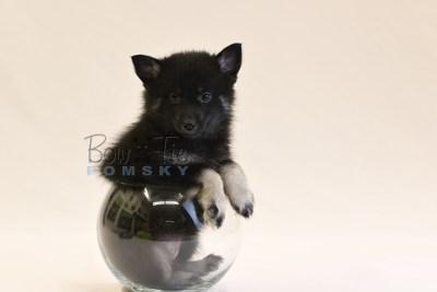 puppy8 BowTiePomsky.com Bowtie Pomsky Puppy For Sale Husky Pomeranian Mini Dog Spokane WA Breeder Blue Eyes Pomskies photo49