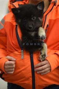 puppy8 BowTiePomsky.com Bowtie Pomsky Puppy For Sale Husky Pomeranian Mini Dog Spokane WA Breeder Blue Eyes Pomskies photo50