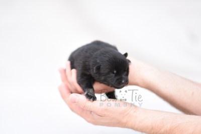 puppy8 BowTiePomsky.com Bowtie Pomsky Puppy For Sale Husky Pomeranian Mini Dog Spokane WA Breeder Blue Eyes Pomskies photo6