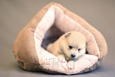puppy9 BowTiePomsky.com Bowtie Pomsky Puppy For Sale Husky Pomeranian Mini Dog Spokane WA Breeder Blue Eyes Pomskies photo20