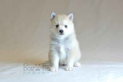 puppy9 BowTiePomsky.com Bowtie Pomsky Puppy For Sale Husky Pomeranian Mini Dog Spokane WA Breeder Blue Eyes Pomskies photo24