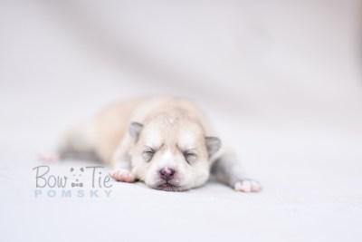 puppy9 BowTiePomsky.com Bowtie Pomsky Puppy For Sale Husky Pomeranian Mini Dog Spokane WA Breeder Blue Eyes Pomskies photo3
