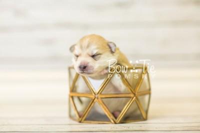 puppy37 week2 BowTiePomsky.com Bowtie Pomsky Puppy For Sale Husky Pomeranian Mini Dog Spokane WA Breeder Blue Eyes Pomskies BowTIePomsky_web-2915