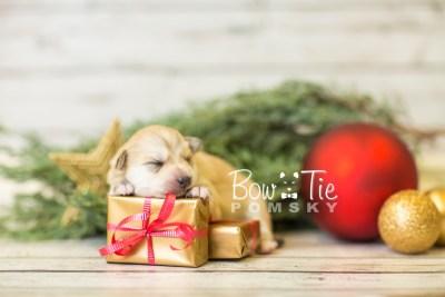 puppy37 week2 BowTiePomsky.com Bowtie Pomsky Puppy For Sale Husky Pomeranian Mini Dog Spokane WA Breeder Blue Eyes Pomskies BowTIePomsky_web-2931
