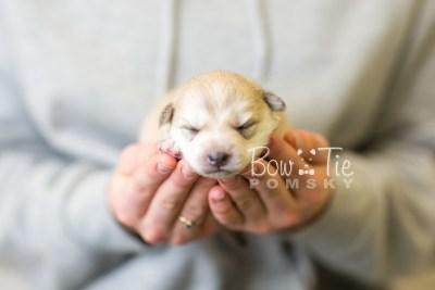 puppy37 week2 BowTiePomsky.com Bowtie Pomsky Puppy For Sale Husky Pomeranian Mini Dog Spokane WA Breeder Blue Eyes Pomskies BowTIePomsky_web-2935