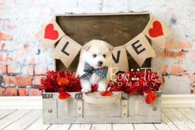 puppy37 week6 BowTiePomsky.com Bowtie Pomsky Puppy For Sale Husky Pomeranian Mini Dog Spokane WA Breeder Blue Eyes Pomskies web1