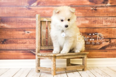puppy37 week8 BowTiePomsky.com Bowtie Pomsky Puppy For Sale Husky Pomeranian Mini Dog Spokane WA Breeder Blue Eyes Pomskies web3