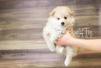 puppy37 week8 BowTiePomsky.com Bowtie Pomsky Puppy For Sale Husky Pomeranian Mini Dog Spokane WA Breeder Blue Eyes Pomskies web6