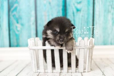 puppy38 week4 BowTiePomsky.com Bowtie Pomsky Puppy For Sale Husky Pomeranian Mini Dog Spokane WA Breeder Blue Eyes Pomskies web4