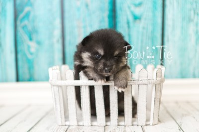 puppy38 week4 BowTiePomsky.com Bowtie Pomsky Puppy For Sale Husky Pomeranian Mini Dog Spokane WA Breeder Blue Eyes Pomskies web4