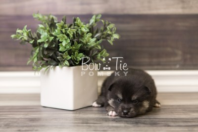 puppy38 week4 BowTiePomsky.com Bowtie Pomsky Puppy For Sale Husky Pomeranian Mini Dog Spokane WA Breeder Blue Eyes Pomskies web5