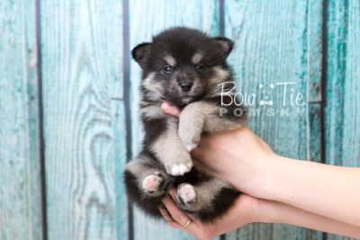 puppy38 week6 BowTiePomsky.com Bowtie Pomsky Puppy For Sale Husky Pomeranian Mini Dog Spokane WA Breeder Blue Eyes Pomskies web1