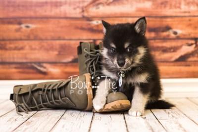 puppy38 week8 BowTiePomsky.com Bowtie Pomsky Puppy For Sale Husky Pomeranian Mini Dog Spokane WA Breeder Blue Eyes Pomskies web3