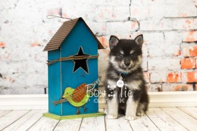puppy38 week8 BowTiePomsky.com Bowtie Pomsky Puppy For Sale Husky Pomeranian Mini Dog Spokane WA Breeder Blue Eyes Pomskies web6