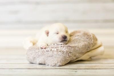 puppy39 week2 BowTiePomsky.com Bowtie Pomsky Puppy For Sale Husky Pomeranian Mini Dog Spokane WA Breeder Blue Eyes Pomskies BowTIePomsky_web-2988