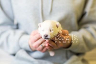 puppy39 week2 BowTiePomsky.com Bowtie Pomsky Puppy For Sale Husky Pomeranian Mini Dog Spokane WA Breeder Blue Eyes Pomskies BowTIePomsky_web-3006