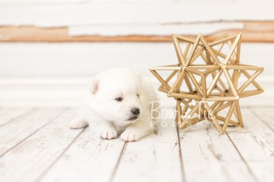 puppy39 week4 BowTiePomsky.com Bowtie Pomsky Puppy For Sale Husky Pomeranian Mini Dog Spokane WA Breeder Blue Eyes Pomskies web3