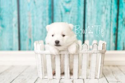 puppy39 week4 BowTiePomsky.com Bowtie Pomsky Puppy For Sale Husky Pomeranian Mini Dog Spokane WA Breeder Blue Eyes Pomskies web4