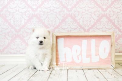 puppy39 week6 BowTiePomsky.com Bowtie Pomsky Puppy For Sale Husky Pomeranian Mini Dog Spokane WA Breeder Blue Eyes Pomskies web2