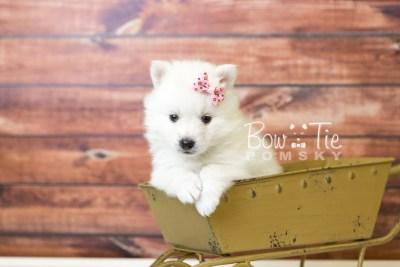 puppy39 week6 BowTiePomsky.com Bowtie Pomsky Puppy For Sale Husky Pomeranian Mini Dog Spokane WA Breeder Blue Eyes Pomskies web3