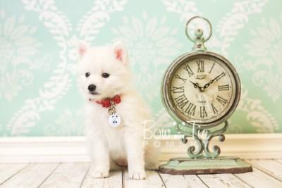 puppy39 week8 BowTiePomsky.com Bowtie Pomsky Puppy For Sale Husky Pomeranian Mini Dog Spokane WA Breeder Blue Eyes Pomskies web3