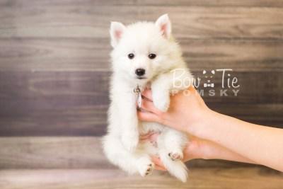 puppy39 week8 BowTiePomsky.com Bowtie Pomsky Puppy For Sale Husky Pomeranian Mini Dog Spokane WA Breeder Blue Eyes Pomskies web6