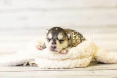 puppy40 week2 BowTiePomsky.com Bowtie Pomsky Puppy For Sale Husky Pomeranian Mini Dog Spokane WA Breeder Blue Eyes Pomskies BowTIePomsky_web-3015