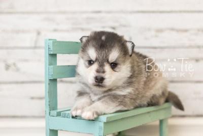 puppy40 week4 BowTiePomsky.com Bowtie Pomsky Puppy For Sale Husky Pomeranian Mini Dog Spokane WA Breeder Blue Eyes Pomskies web1