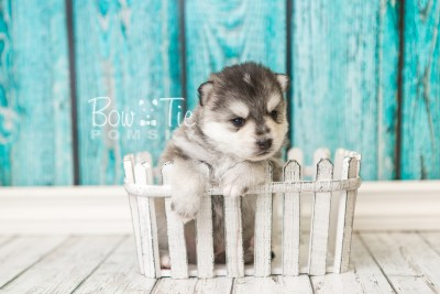 puppy40 week4 BowTiePomsky.com Bowtie Pomsky Puppy For Sale Husky Pomeranian Mini Dog Spokane WA Breeder Blue Eyes Pomskies web4