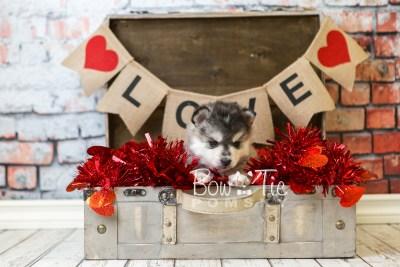 puppy40 week6 BowTiePomsky.com Bowtie Pomsky Puppy For Sale Husky Pomeranian Mini Dog Spokane WA Breeder Blue Eyes Pomskies web1