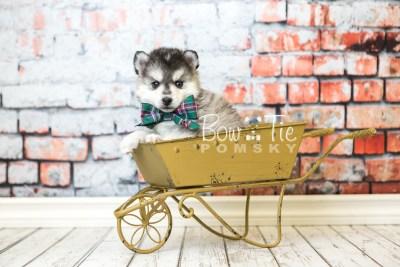 puppy40 week6 BowTiePomsky.com Bowtie Pomsky Puppy For Sale Husky Pomeranian Mini Dog Spokane WA Breeder Blue Eyes Pomskies web2