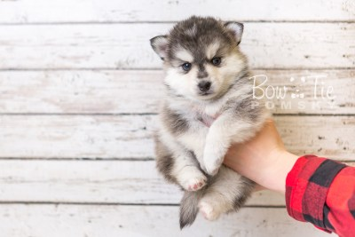 puppy40 week6 BowTiePomsky.com Bowtie Pomsky Puppy For Sale Husky Pomeranian Mini Dog Spokane WA Breeder Blue Eyes Pomskies web5