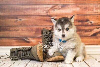 puppy40 week8 BowTiePomsky.com Bowtie Pomsky Puppy For Sale Husky Pomeranian Mini Dog Spokane WA Breeder Blue Eyes Pomskies web2