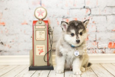 puppy40 week8 BowTiePomsky.com Bowtie Pomsky Puppy For Sale Husky Pomeranian Mini Dog Spokane WA Breeder Blue Eyes Pomskies web5